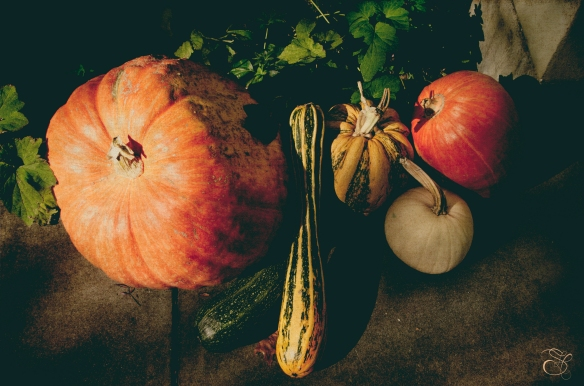Pumpkins in Healdsburg copy.jpg